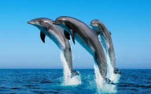 Dolphins-300x187